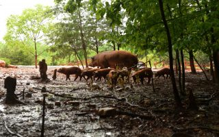 Some litters include 10 to 12 piglets. Pat Jarrett/VFH Staff